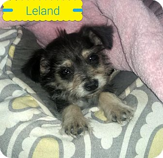 Silky Terrier/Havanese Mix Puppy for adoption in Victorville, California - Leland-Adopt me!