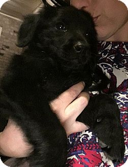 Flat-Coated Retriever Puppy for adoption in Fort Atkinson, Wisconsin - Harper