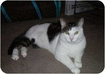 Domestic Shorthair Cat for adoption in Clay, New York - Harlem(declawed