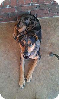 Australian Cattle Dog/Australian Shepherd Mix Dog for adoption in Conway, Arkansas - Rex