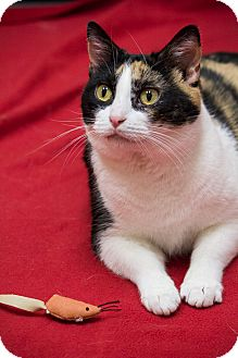 Calico Cat for adoption in Chicago, Illinois - Zooey