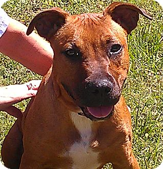 Mastiff/Pit Bull Terrier Mix Puppy for adoption in Odessa, Florida - JAX