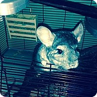 Adopt A Pet :: ChiChi - Granby, CT