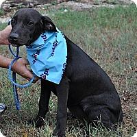Adopt A Pet :: Cupcake - Pocahontas, AR