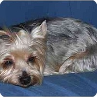 Adopt A Pet :: Prada - Rigaud, QC