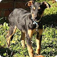 Adopt A Pet :: Ayden - Brattleboro, VT