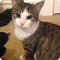 Domestic Shorthair Cat for adoption in St. Louis, Missouri - Gemini