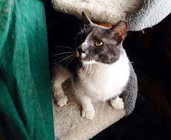 Domestic Shorthair Cat for adoption in Jamaica Plain, Massachusetts - Richie