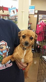 Chihuahua/Terrier (Unknown Type, Medium) Mix Dog for adoption in Fresno, California - Maggie