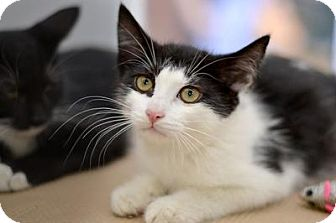 Domestic Mediumhair Cat for adoption in Queens, New York - Babybel