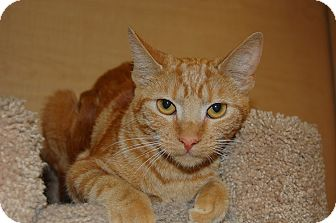 Domestic Shorthair Cat for adoption in Whittier, California - Sammy