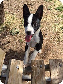 Border Collie Mix Puppy for adoption in Denver, Colorado - Bodhi