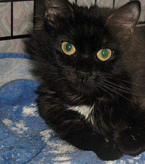 Domestic Longhair Kitten for adoption in Bedford, Virginia - Hibiscus