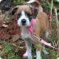 Adopt A Pet :: Ozie Boo - Union, CT
