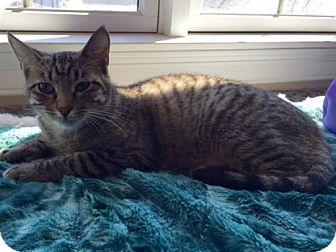 Domestic Shorthair Cat for adoption in Wakefield, Massachusetts - Kris Kringle