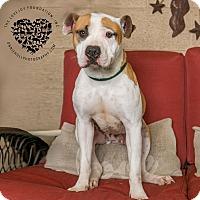 Hound (Unknown Type)/American Bulldog Mix Dog for adoption in Inglewood, California - Mickey