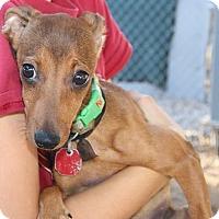Adopt A Pet :: RHONDA - Phoenix, AZ