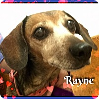 Adopt A Pet :: Rayne - Green Cove Springs, FL