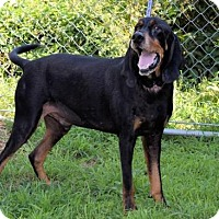 Coonhound Dog for adoption in Winfield, Pennsylvania - Rugar T.