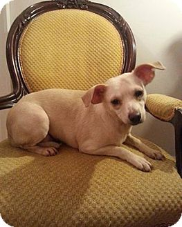 Labrador Retriever Mix Dog for adoption in Edgewater, New Jersey - Puppy