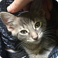 Adopt A Pet :: Jigglypuff - Chicago, IL