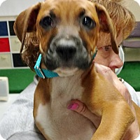 Boxer Mix Puppy for adoption in Toledo, Ohio - Marsha