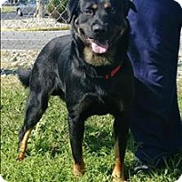 Rottweiler/Chow Chow Mix Dog for adoption in Atlantic City, New Jersey - Austin