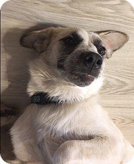 Great Pyrenees/Anatolian Shepherd Mix Dog for adoption in Tulsa, Oklahoma - Josie