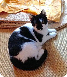 Domestic Shorthair Cat for adoption in Portland, Oregon - MoMo