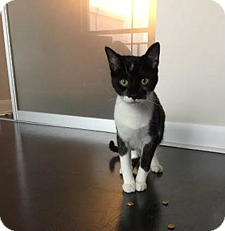 Domestic Shorthair Cat for adoption in Toronto, Ontario - Tonks