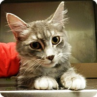 Domestic Mediumhair Cat for adoption in Redding, California - Clover