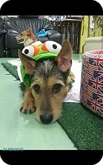 Airedale Terrier Mix Dog for adoption in Agoura Hills, California - 'NINJA'
