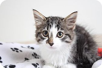 Domestic Longhair Kitten for adoption in Edina, Minnesota - George *Special Needs* C160307