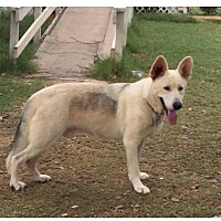 Adopt A Pet :: Dopey - Fort Worth, TX