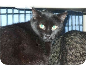 Domestic Shorthair Cat for adoption in Colmar, Pennsylvania - Monday - Barn Cat