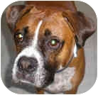 Boxer Dog for adoption in Sunderland, Massachusetts - Buddy