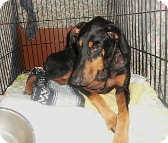 Doberman Pinscher Dog for adoption in New Richmond, Ohio - Magic--pending