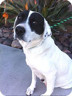 Border Collie/Labrador Retriever Mix Dog for adoption in Irvine, California - Gentle ABBY