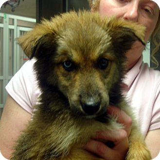 Collie/Husky Mix Puppy for adoption in baltimore, Maryland - Diamond
