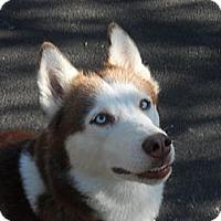 Adopt A Pet :: Shila - Horsham, PA