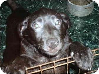 Boulder | Adopted Puppy | Sand Creek, MI | Labrador ...