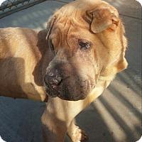 Adopt A Pet :: Sandman - Mira Loma, CA