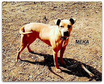 American Pit Bull Terrier Dog for adoption in Cookeville, Tennessee - Meka Rose