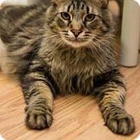 Domestic Longhair Cat for adoption in Frankenmuth, Michigan - Carmel