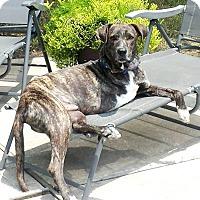 Adopt A Pet :: Cuddly Cash - Houston, TX