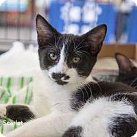 Adopt A Pet :: Scarlet - Merrifield, VA