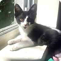 Adopt A Pet :: Addi - Brooklyn, NY