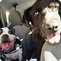 Adopt A Pet :: Dexter & Blue - Huntington Beach, CA