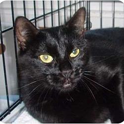 Photo 1 - Domestic Shorthair Cat for adoption in Germansville, Pennsylvania - Darla