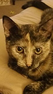 American Shorthair Cat for adoption in Nuevo, California - Shelby